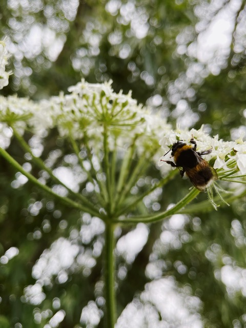 a bee sits on a white 'weed' type plant. the bee is in focus and in the background you can see lots of out of focus greenery