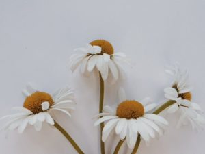 Image of 4 daisies with curly stems against a grey background